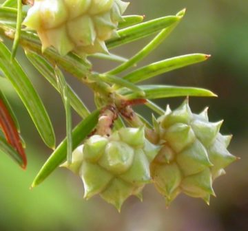 <p>Developing female seed cones<br /></p>