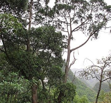 Mature tree, Guangxi
