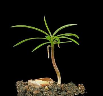 <p>Seedling</p>