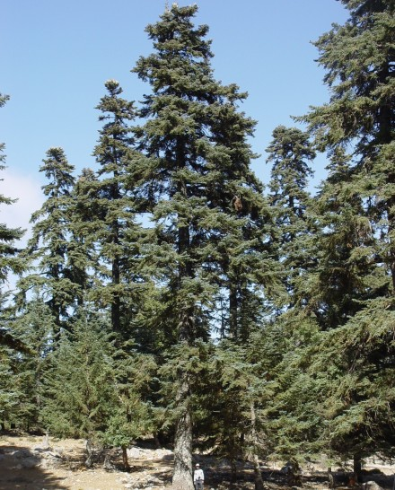 Abies Pinsapo Threatened Conifers Of The World