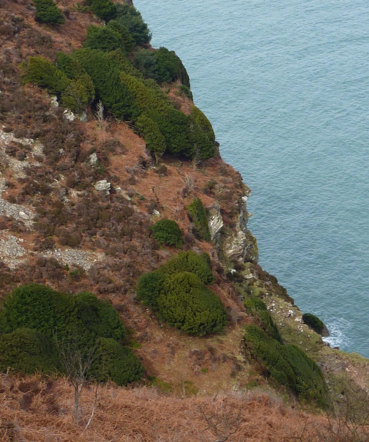 Native Population North Devon, West Woody Bay