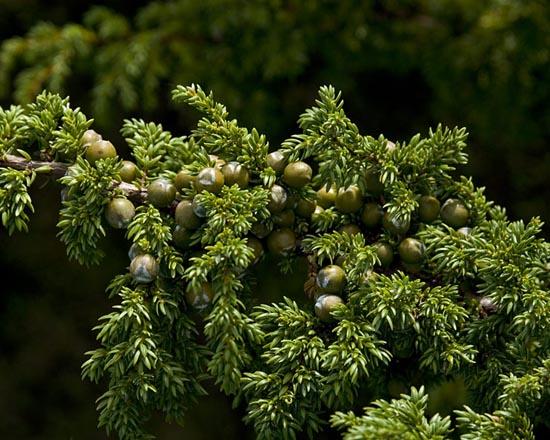 Mature cones and foliage