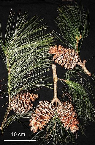 Pinus cernua, foliage and cones