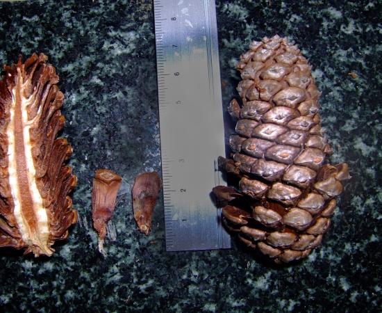 Mature female cones
