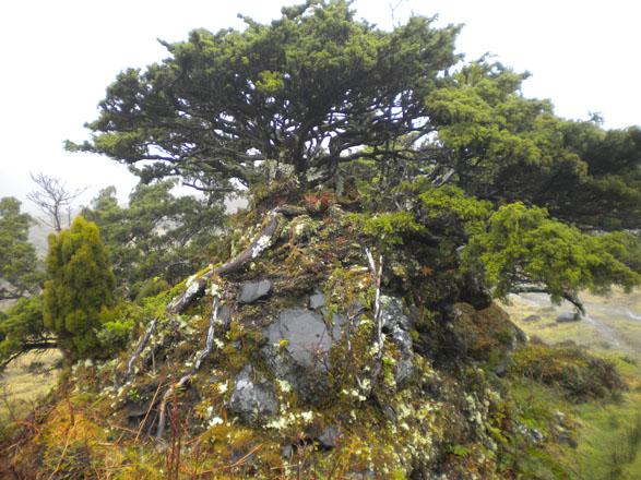 Old-growth tree, Terceria island